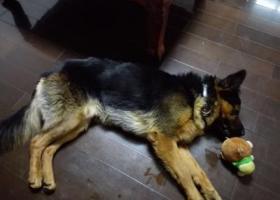 寻狗启示,于仓山上渡附近走失一条串串黑背,它是一只非常可爱的宠物狗狗,希望它早日回家,不要变成流浪狗。
