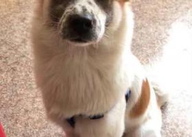 寻狗启示,小八别让关心你人难过,它是一只非常可爱的宠物狗狗,希望它早日回家,不要变成流浪狗。
