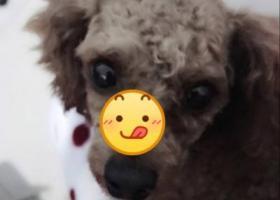 寻狗启示,一只粽色泰迪,邯郸市东辛庄丢失,它是一只非常可爱的宠物狗狗,希望它早日回家,不要变成流浪狗。