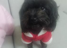 我家狗狗叫小黑小贵宾,是在广州白云区棠下走丢的,找到必重谢