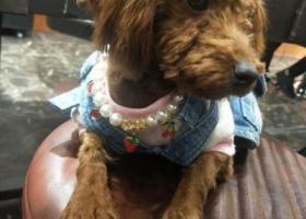 寻狗启示,青岛城阳寻七个多月母泰迪,有人再小区附近捡到一人抱着我们家狗,它是一只非常可爱的宠物狗狗,希望它早日回家,不要变成流浪狗。