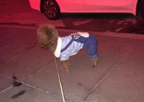 寻狗启示,增城新塘广深大道西加油站附近捡到一只棕色泰迪犬,它是一只非常可爱的宠物狗狗,希望它早日回家,不要变成流浪狗。