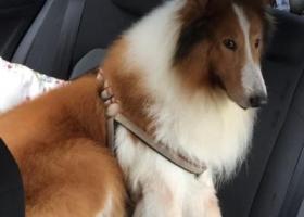 寻狗启示,江门市蓬江区北郊天龙街丢失12岁苏格兰牧羊犬一只,它是一只非常可爱的宠物狗狗,希望它早日回家,不要变成流浪狗。