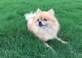 寻2017年12月17日于杭州西湖区UN公社内走失的黄色博美犬