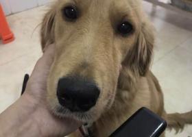 寻狗启示,金毛宝宝丢了,拜托大家留意,它是一只非常可爱的宠物狗狗,希望它早日回家,不要变成流浪狗。