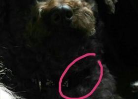 寻狗启示,找寻我收养的棕黑灰泰迪,它是一只非常可爱的宠物狗狗,希望它早日回家,不要变成流浪狗。