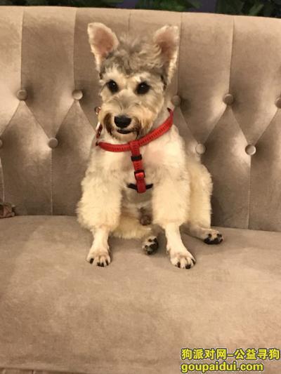 寻狗启示,长沙湘江中路万达广场酬谢三千元寻找雪纳瑞,它是一只非常可爱的宠物狗狗,希望它早日回家,不要变成流浪狗。