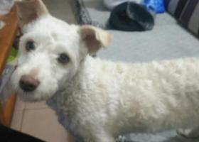 寻狗启示,爱犬丢失为白色比熊串串,淘淘快点回家,,它是一只非常可爱的宠物狗狗,希望它早日回家,不要变成流浪狗。
