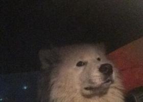 寻狗启示,2017年12月26日,红旗大街,白色萨摩耶寻主,求扩散。,它是一只非常可爱的宠物狗狗,希望它早日回家,不要变成流浪狗。
