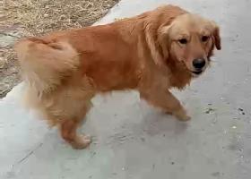 寻狗启示,烟台芝罘区幸福的朋友们注意了!!,它是一只非常可爱的宠物狗狗,希望它早日回家,不要变成流浪狗。