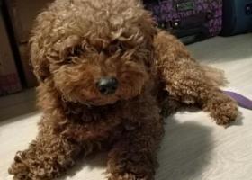 寻狗启示,在通州区怡乐中街去永辉的路口捡到一只泰迪,它是一只非常可爱的宠物狗狗,希望它早日回家,不要变成流浪狗。
