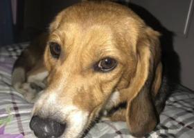 寻狗启示,1月16日晚捡到一只比格母犬,寻主,它是一只非常可爱的宠物狗狗,希望它早日回家,不要变成流浪狗。