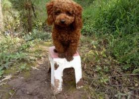 我的两岁泰迪犬弄丢了,请大家帮忙留意下