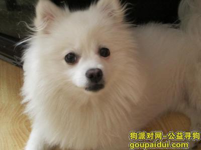 白色的小狗,是博美和银狐的串儿,眼圈儿一黑一白,名字叫miru(咪噜),喊