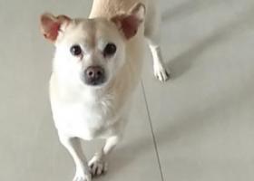 寻狗启示,寻找爱犬(无锡市滨湖区雪溪苑),它是一只非常可爱的宠物狗狗,希望它早日回家,不要变成流浪狗。