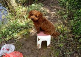 寻狗启示,我的泰迪犬狗狗弄丢了,请大家帮忙留意下,它是一只非常可爱的宠物狗狗,希望它早日回家,不要变成流浪狗。