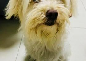 寻狗启示,河西捡到小白狗一只!!,它是一只非常可爱的宠物狗狗,希望它早日回家,不要变成流浪狗。