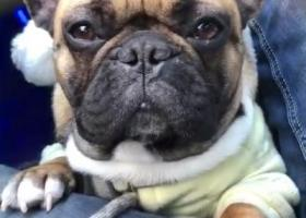 寻狗启示,合肥隆岗不夜城滨河路附近黄色法斗丢失,它是一只非常可爱的宠物狗狗,希望它早日回家,不要变成流浪狗。