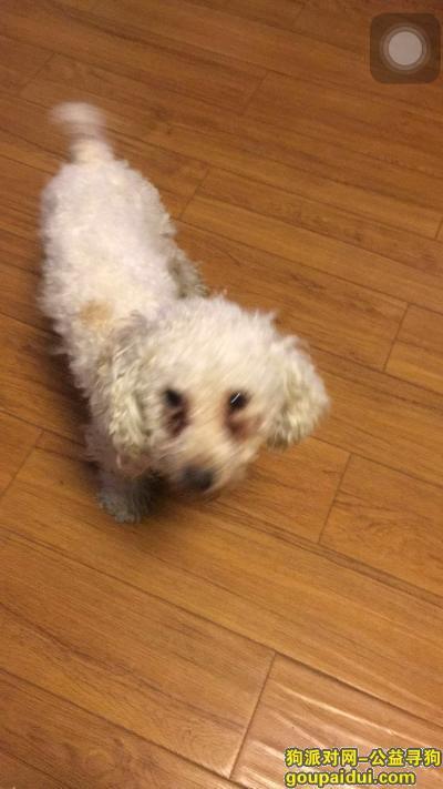黄石丢狗,黄石市中心医院家属区寻找白色泰迪,它是一只非常可爱的宠物狗狗,希望它早日回家,不要变成流浪狗。