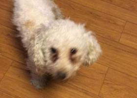 寻狗启示,黄石市中心医院家属区寻找白色泰迪,它是一只非常可爱的宠物狗狗,希望它早日回家,不要变成流浪狗。