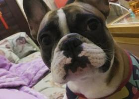 寻狗启示 2018年1月21号晚上7点,家中爱犬在云峰嘉园小区东门走失,是一条琥珀法牛,小型犬,天气这么冷家人非常着急,特希望有拾到者或有见到者提供信息速与本人联系。 联系电话:13066757646          15640325777