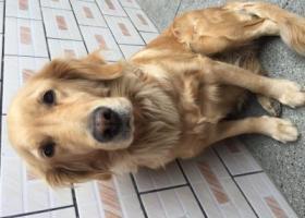 寻狗启示,寻找丢失金毛犬,主人特别着急,它是一只非常可爱的宠物狗狗,希望它早日回家,不要变成流浪狗。