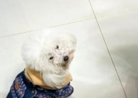 寻狗启示,寻狗启示-狗狗丢了很着急,它是一只非常可爱的宠物狗狗,希望它早日回家,不要变成流浪狗。