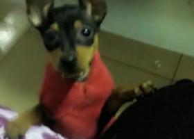 寻狗启示,黑色铁包金小鹿犬1岁半,丟时穿着花衣服,自己做的衣服,它是一只非常可爱的宠物狗狗,希望它早日回家,不要变成流浪狗。
