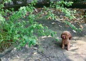 寻狗启示,急寻丢失三个月的红棕色小体泰迪,它是一只非常可爱的宠物狗狗,希望它早日回家,不要变成流浪狗。