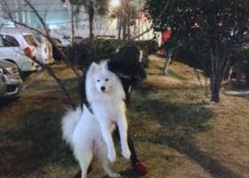 寻狗启示,丢失一条2岁公萨摩耶!!!,它是一只非常可爱的宠物狗狗,希望它早日回家,不要变成流浪狗。