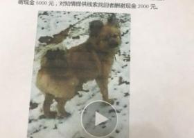 寻狗启示,寻狗启示,黄色蝴蝶犬串串,它是一只非常可爱的宠物狗狗,希望它早日回家,不要变成流浪狗。