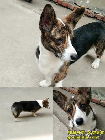 济源寻狗网,济源市沁园区汤帝路酬谢三千元寻找柯基犬,它是一只非常可爱的宠物狗狗,希望它早日回家,不要变成流浪狗。