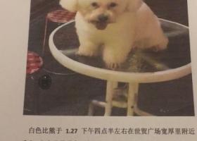 寻狗启示,寻狗启示  白色比熊犬,它是一只非常可爱的宠物狗狗,希望它早日回家,不要变成流浪狗。