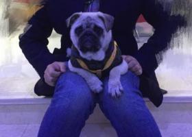 寻狗启示,寻找八哥犬,坐标南通海安,它是一只非常可爱的宠物狗狗,希望它早日回家,不要变成流浪狗。