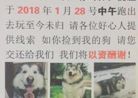 常州市2018年1月28日宠物店灰白色阿拉斯加犬走失