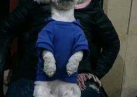 成都锦江区均隆街一只白色母比熊犬叫罗尔被未知出租车司机撞死,请爱狗狗人士帮忙留意,必有重谢