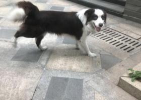 寻狗启示,狗狗找主人狗狗找主人,它是一只非常可爱的宠物狗狗,希望它早日回家,不要变成流浪狗。