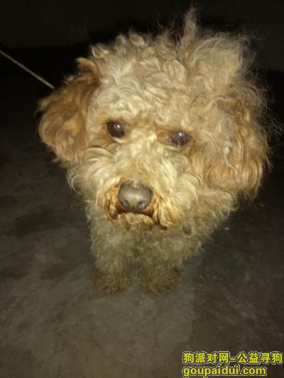 安阳找狗主人,安阳一中附近捡到泰迪狗,它是一只非常可爱的宠物狗狗,希望它早日回家,不要变成流浪狗。