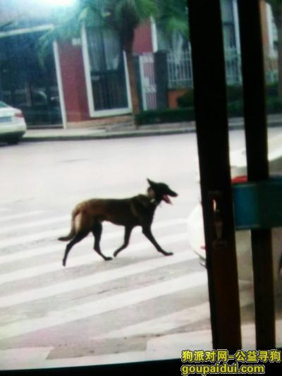 ,福建福鼎的朋友们帮帮忙 寻狗狗  黑马犬,它是一只非常可爱的宠物狗狗,希望它早日回家,不要变成流浪狗。
