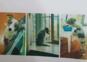 寻狗启示,本人于1月31日下午五点在乐山嘉兴路二号小区丢失边牧一只,它是一只非常可爱的宠物狗狗,希望它早日回家,不要变成流浪狗。