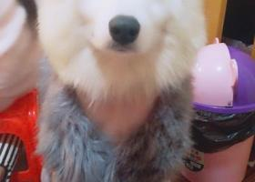 寻狗启示,宁波北仑丢的一只公萨摩,它是一只非常可爱的宠物狗狗,希望它早日回家,不要变成流浪狗。