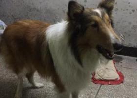寻狗启示,速度联系,每天需要时间去照顾,请回归失主,它是一只非常可爱的宠物狗狗,希望它早日回家,不要变成流浪狗。