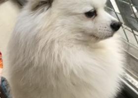 寻狗启示,重金寻狗,白色博美。,它是一只非常可爱的宠物狗狗,希望它早日回家,不要变成流浪狗。
