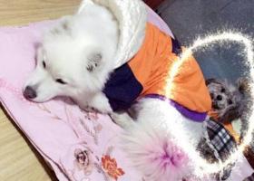 寻狗启示,急寻丢失灰色泰迪一只,它是一只非常可爱的宠物狗狗,希望它早日回家,不要变成流浪狗。