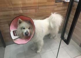 深圳龙华大型萨摩耶公犬走失,配有项圈和名牌,刚做完绝育