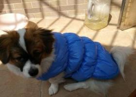 2月2日在广州番禺南村镇清华坊旁的水上公园丢失一只蝴蝶犬