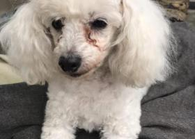 18年2月1日丢失十岁的白色贵宾母狗