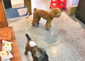 寻狗启示,福建莆田寻找两只泰迪公狗(一黄一棕),它是一只非常可爱的宠物狗狗,希望它早日回家,不要变成流浪狗。