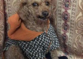 寻狗启示,福建莆田寻找一只泰迪狗,它是一只非常可爱的宠物狗狗,希望它早日回家,不要变成流浪狗。