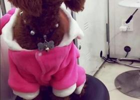寻狗启示,母泰迪。1岁。棕色毛。长尾巴。名叫甜心,它是一只非常可爱的宠物狗狗,希望它早日回家,不要变成流浪狗。